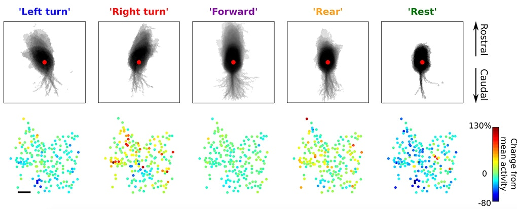 In Basal Ganglia, a Map of Movement – Simons Foundation