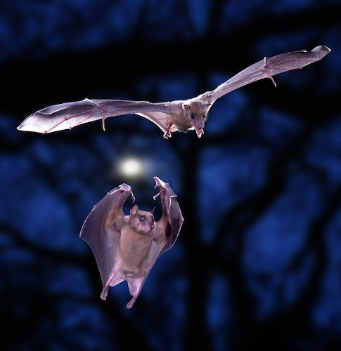 Egyptian Rousette Bats (Rousettus aegyptiacus) in flight. [Surrey, England. DC C]