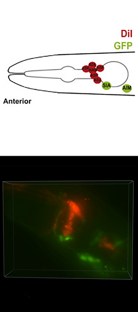 Neurons in worm head