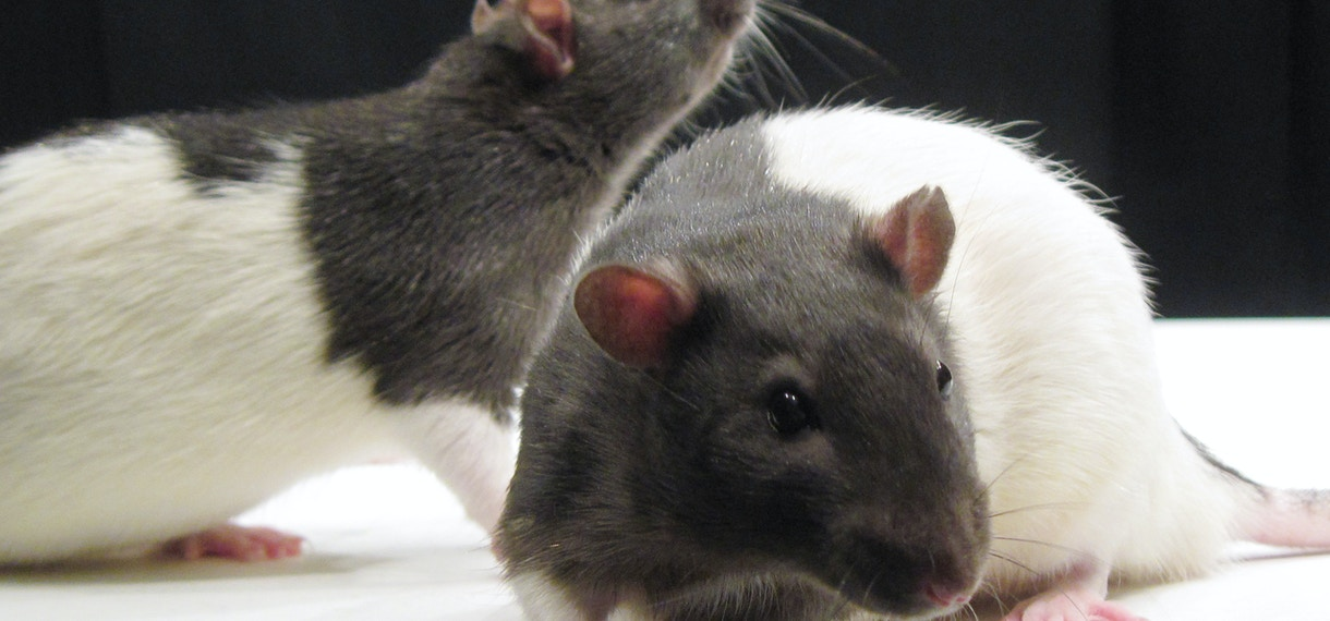 rat models sfari